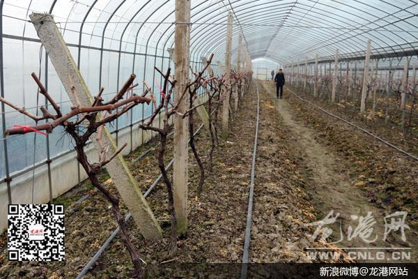 龍港網1月26日訊:冬季是葡萄整形修剪,清園消毒等田間管理的