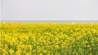 惊艳!龙港新城1400亩油菜花海,美到爆表!周末约起~
